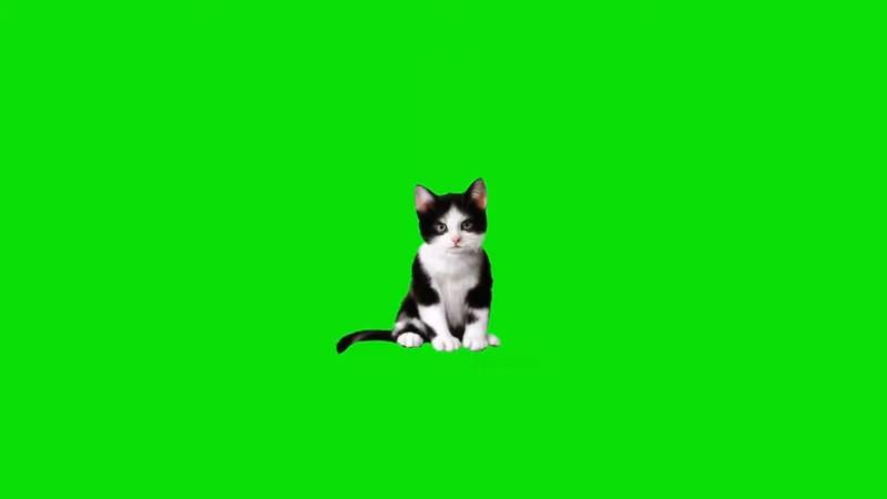 绿屏抠像视频素材猫咪