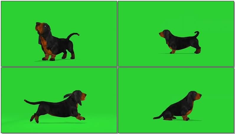 绿幕视频素材巴塞特猎犬