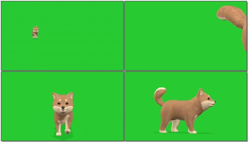 绿幕视频素材罗柴犬