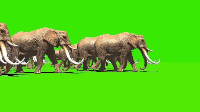 绿幕视频素材大象群