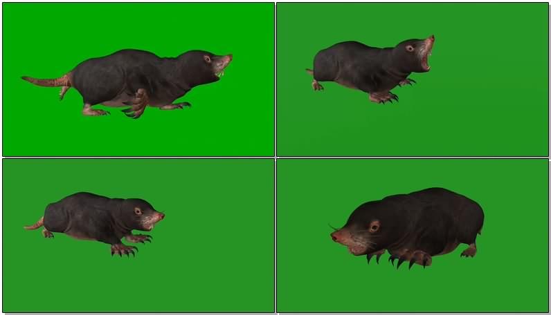 绿幕视频素材鼹鼠