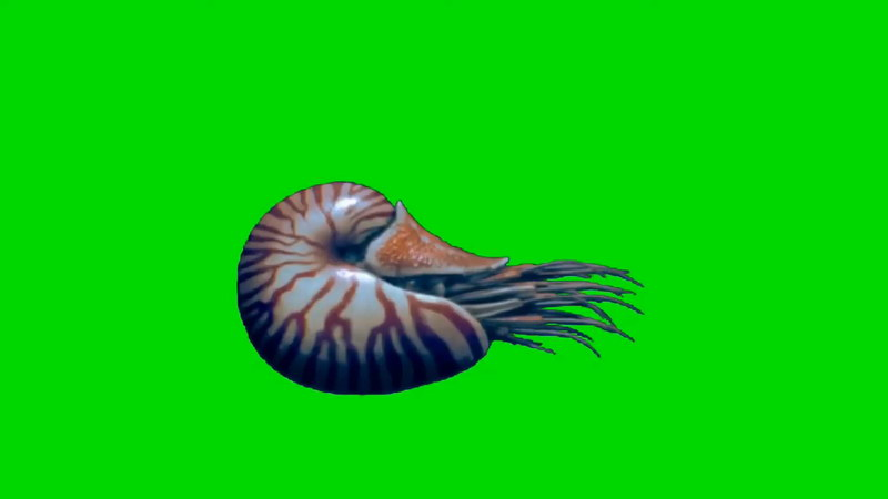 绿幕视频素材鹦鹉螺