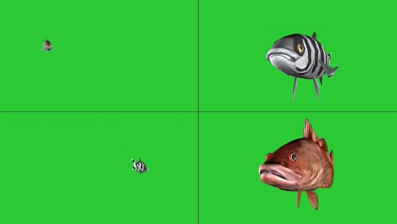 绿幕视频素材鱼类
