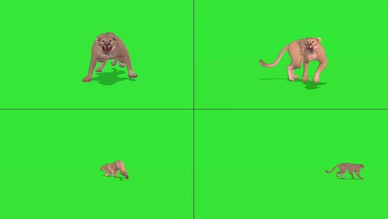 绿幕视频素材豹子