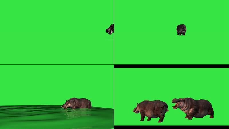 绿幕视频素材河马