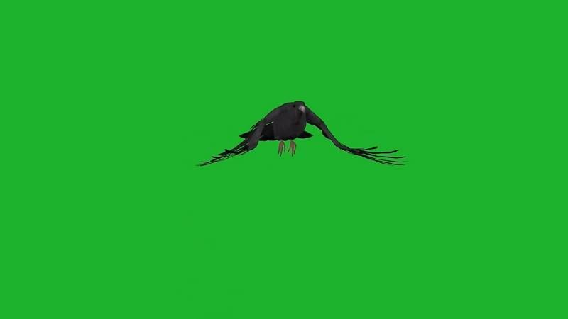 绿幕视频素材乌鸦