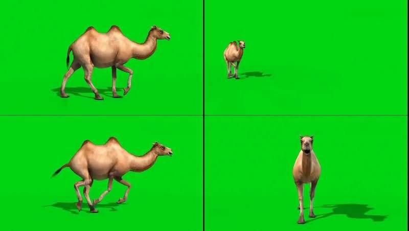 绿幕视频素材骆驼