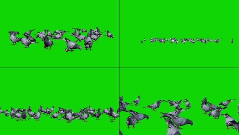 绿幕视频素材鸽子鸟群