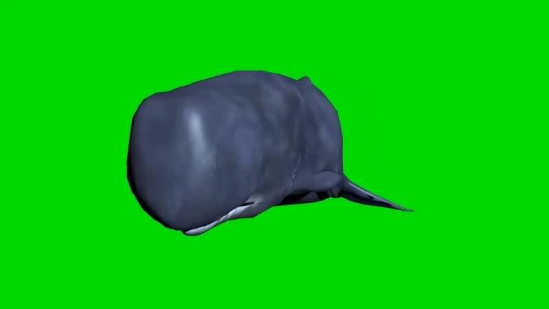 绿幕视频素材抹香鲸