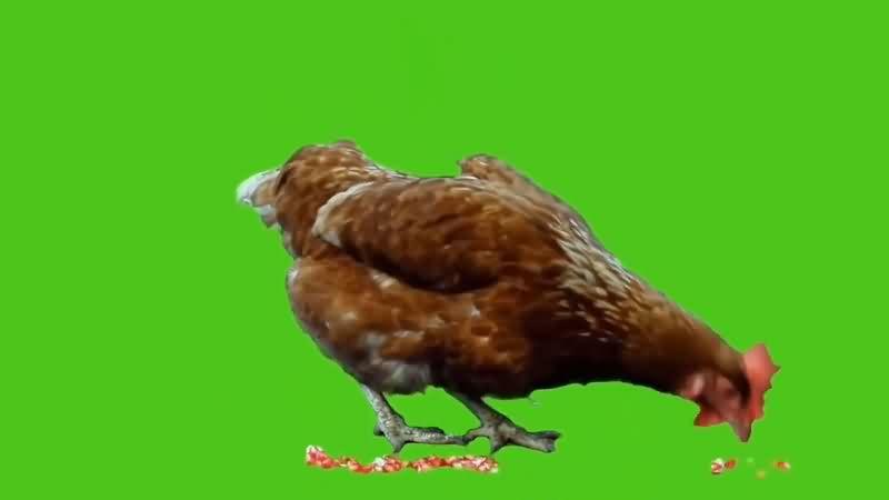 绿幕视频素材母鸡