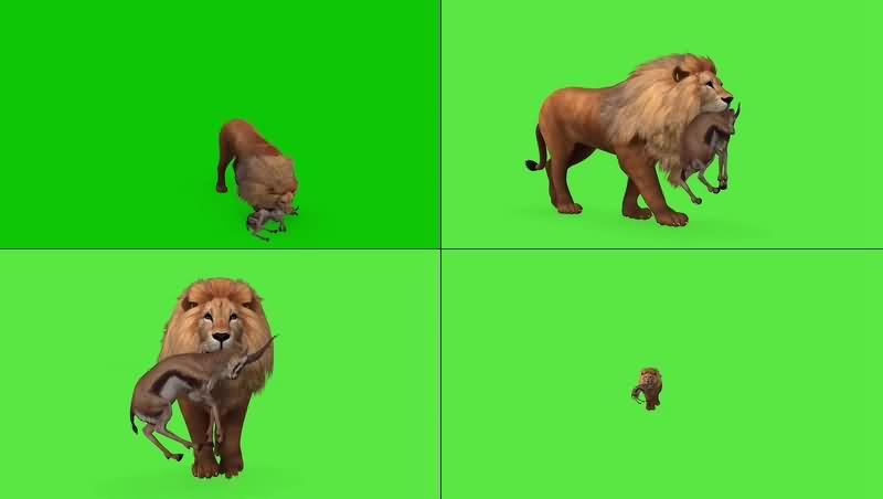 绿幕视频素材狮子捕猎