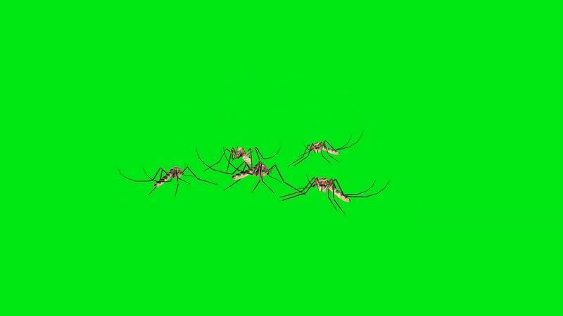 绿幕视频素材蚊子