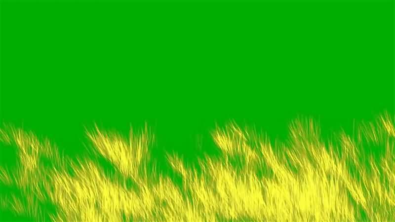 绿幕视频素材麦穗