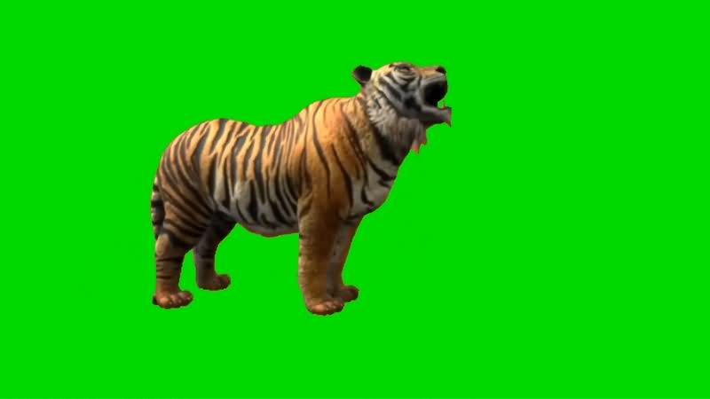 绿幕视频素材老虎