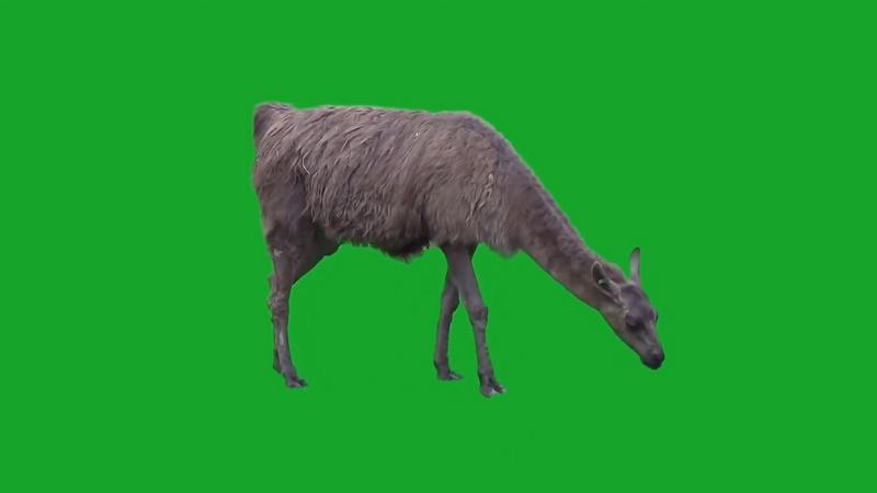绿幕视频素材羊驼