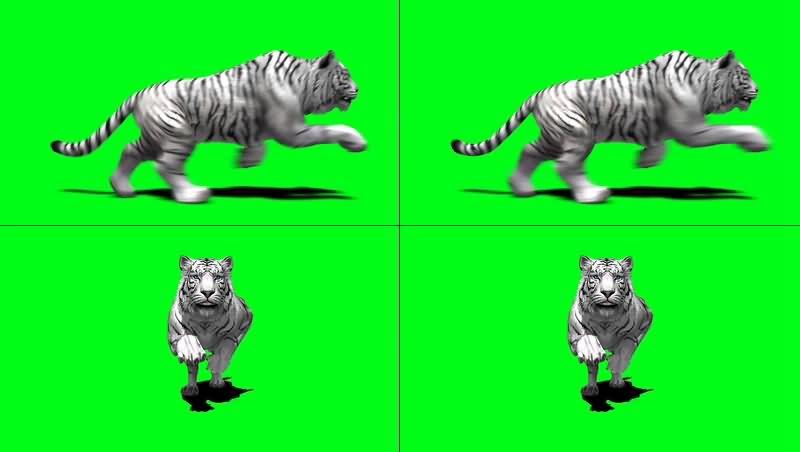 绿幕视频素材白虎