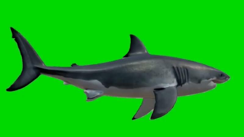 绿幕视频素材鲨鱼