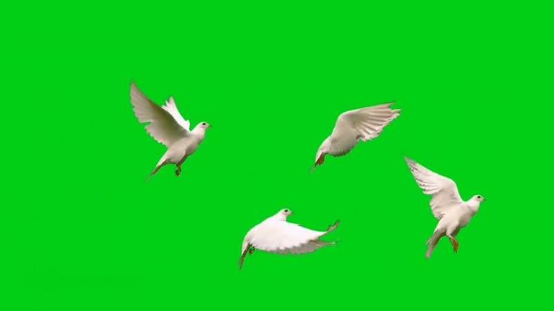 绿幕视频素材白鸽