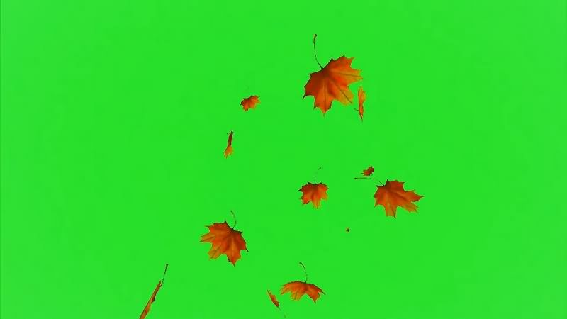 绿幕视频素材枫叶.jpg