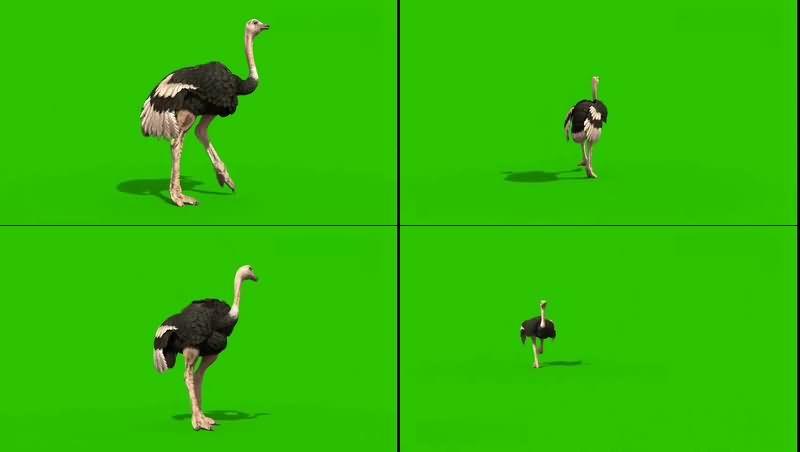 绿幕视频素材鸵鸟