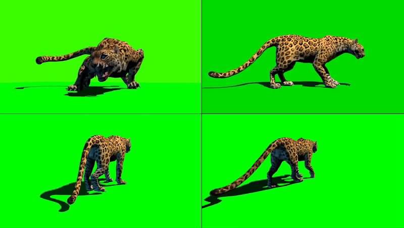 绿幕视频素材花豹