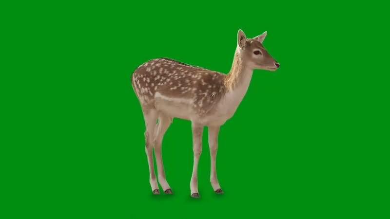 绿幕视频素材梅花鹿