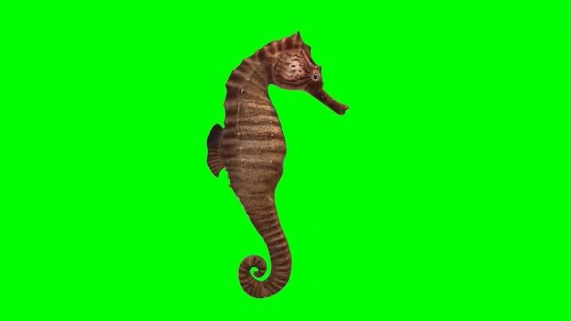 绿幕视频素材海马