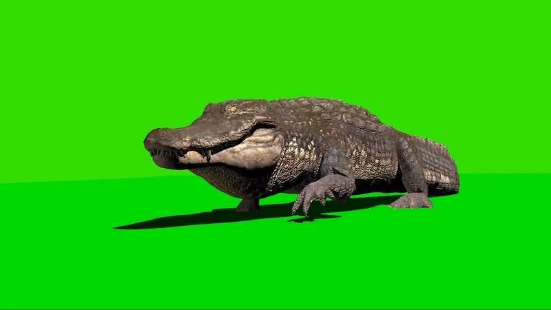绿幕视频素材鳄鱼