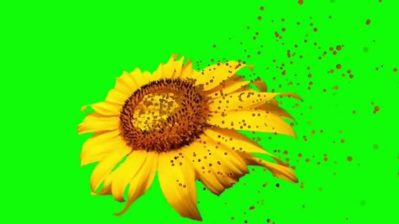 绿幕视频素材向日葵.jpg