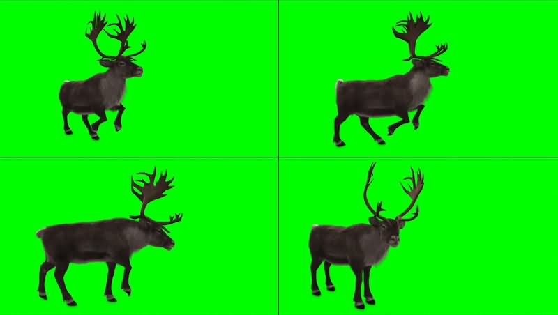 绿幕视频素材驯鹿