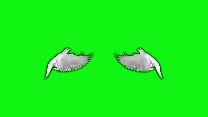 绿幕视频素材和平鸽