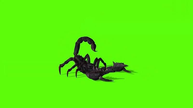 绿幕视频素材蝎子.jpg