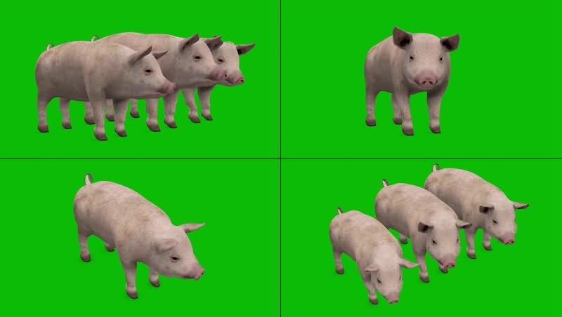 绿幕视频素材小猪