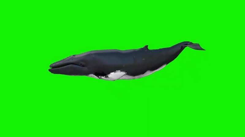 绿幕视频素材鲸鱼