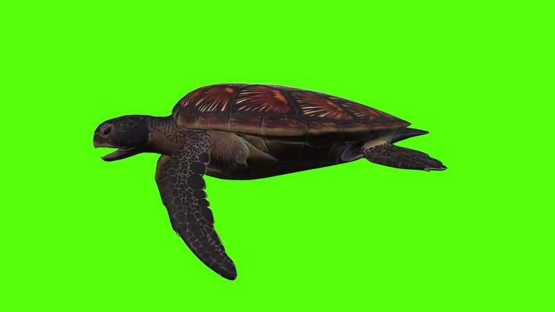 绿幕视频素材海龟