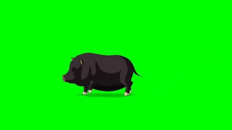 绿幕视频素材黑猪