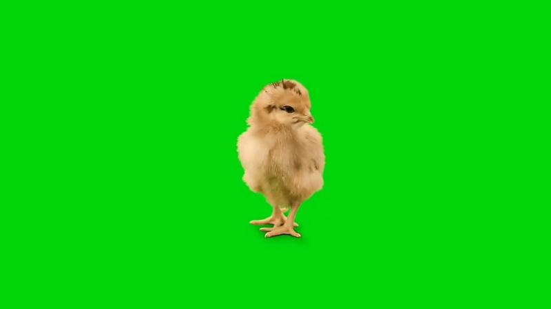 绿幕视频素材小鸡