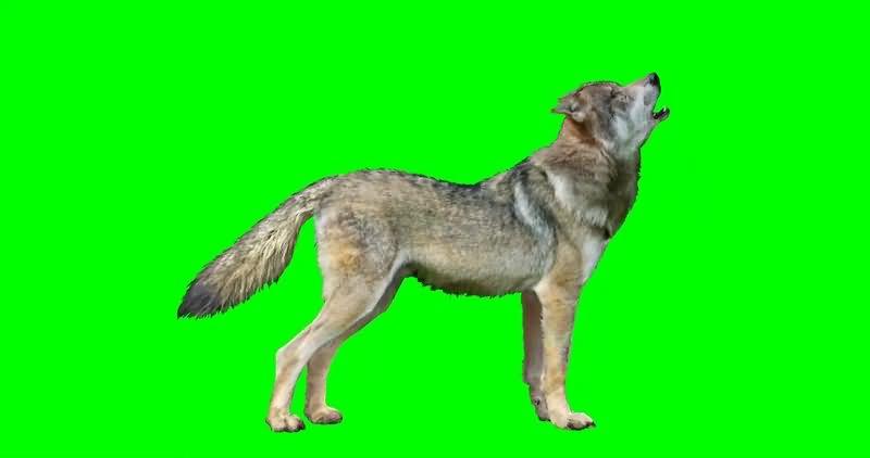 绿幕视频素材狼
