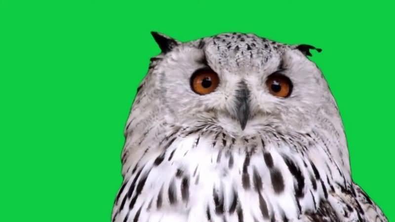 绿幕视频素材猫头鹰