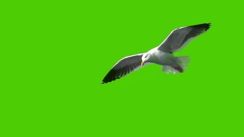 绿幕视频素材海鸥