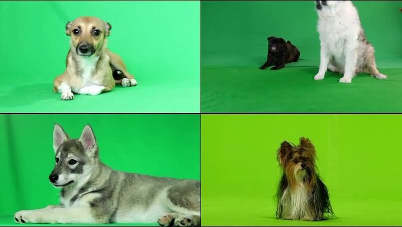 绿幕视频素材狗狗