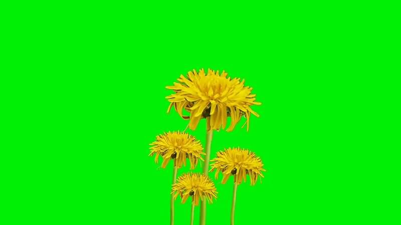 绿幕视频素材蒲公英
