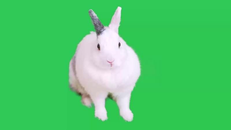 绿幕视频素材白兔