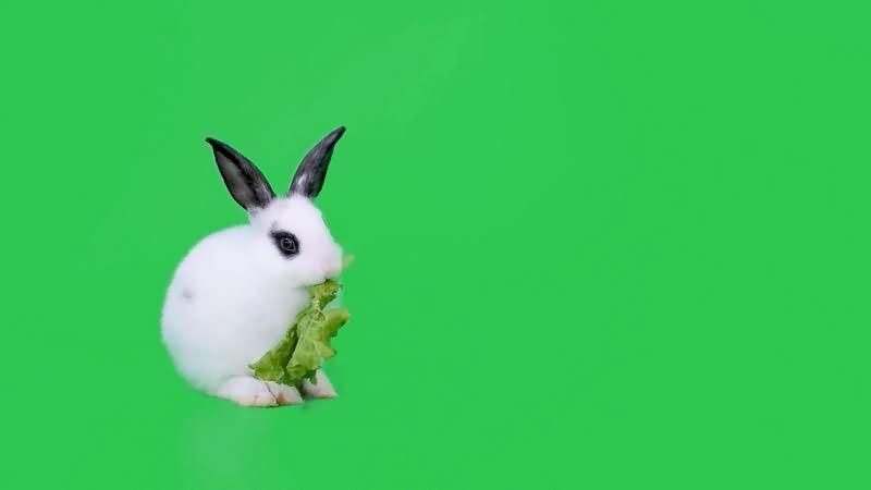 绿幕视频素材小白兔