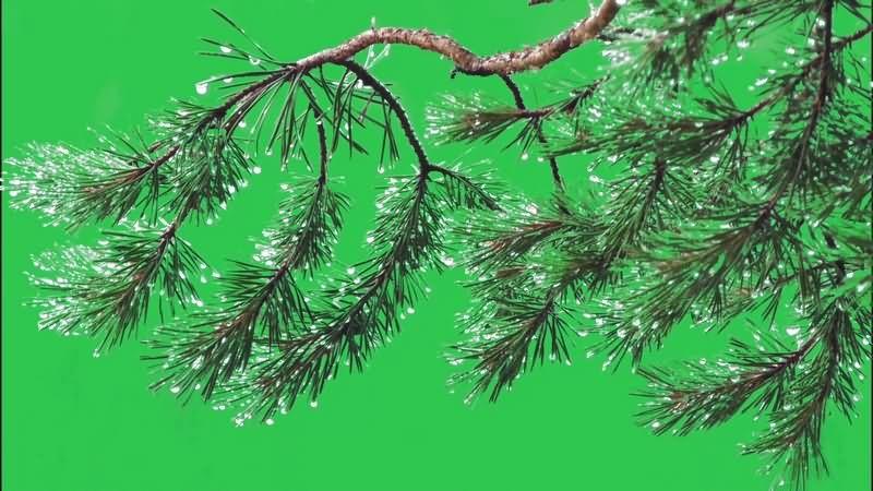 绿幕视频素材雪松