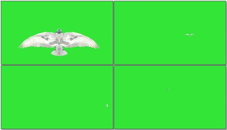 绿屏抠像飞翔的白色鸽子视频素材