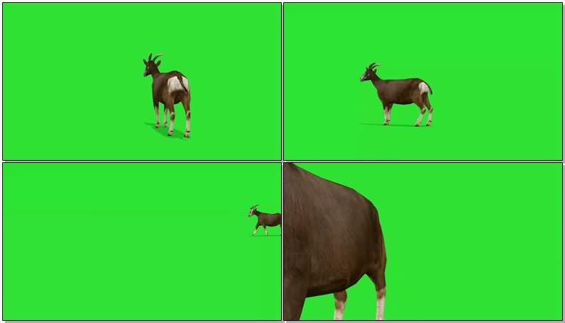 绿屏抠像奔跑的山羊视频素材