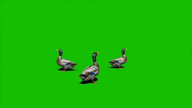 绿幕视频素材鸭子
