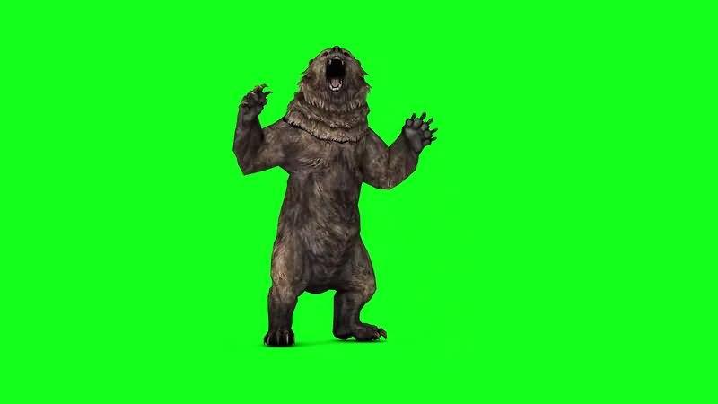 绿屏视频素材灰熊