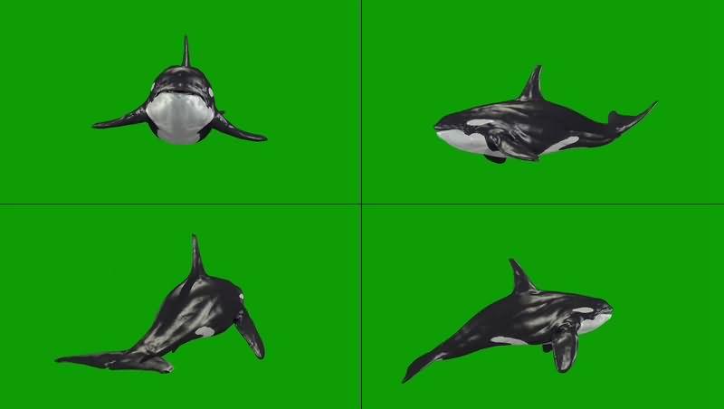 绿幕视频素材虎鲸